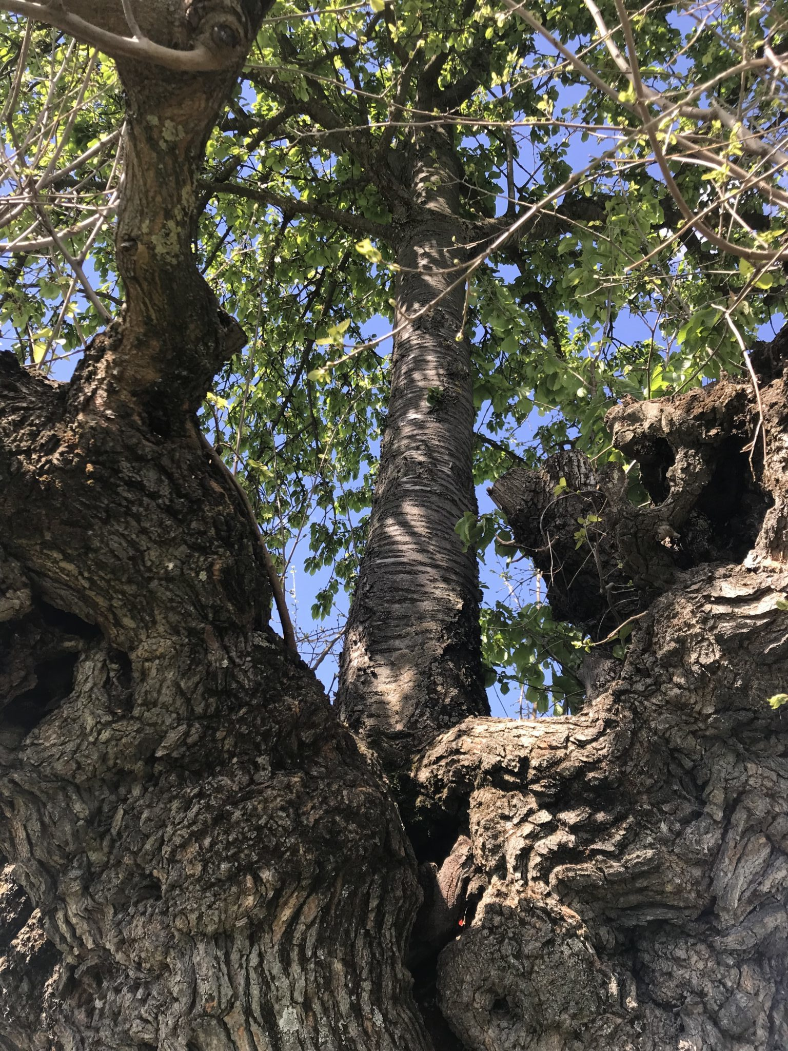 In provincia di Asti, nella strada tra Grana e Catorzo, terra della Malvasia, c'è un paesaggio unico. Un albero su cui sorge un altro albero: il Bialbero